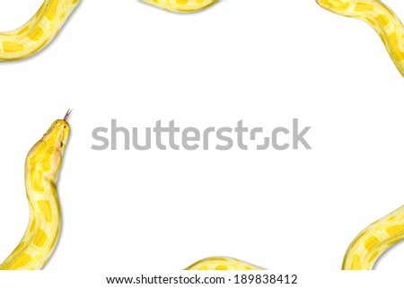 Closeup  Gold Python,Reticulated python (Python reticulatus) Isolated on white background,Frame, background - stock photo