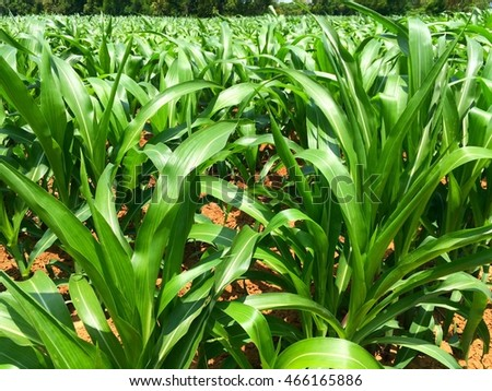 Closeup green field of young corn plants background texture