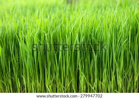 Closeup green paddy in field - stock photo
