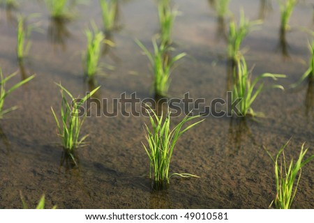 Closeup green rice field - stock photo