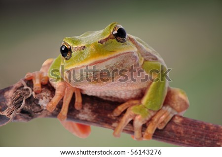 closeup green tree frog isolated on white background - stock photo