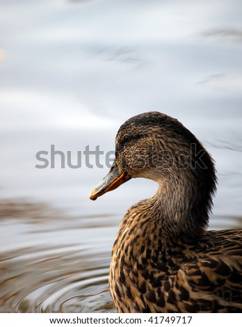 Closeup head and chest shot of female Mallard Duck in water. Excellent detail in plumage. Selective focus on duck water smooth with room for text.