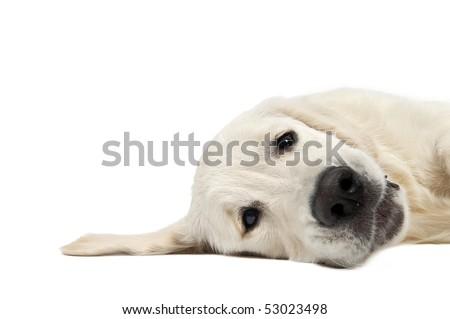 closeup head of Golden Retriever dog lying on the floor isolated - stock photo
