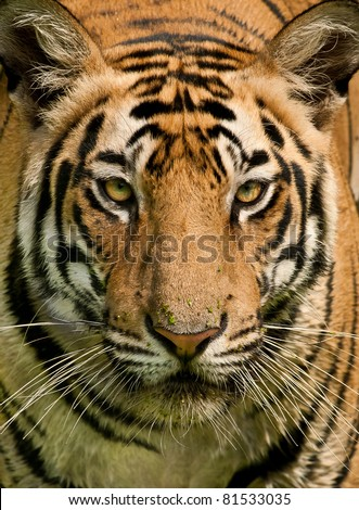 Closeup head shot of a Royal Bengal Tiger staring straight into the camera - stock photo