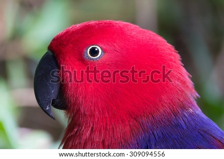 Closeup head view of female eclectus parrot, unsual for its females being more colorful than males