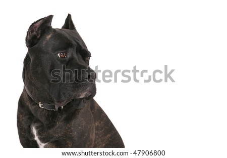 closeup headshot of a black bull mastiff pet dog over white looking into copyspace. horizontal format. - stock photo