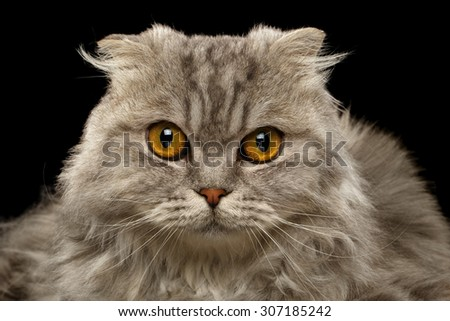 Closeup Highland Scottish Fold Cat on Black Background - stock photo