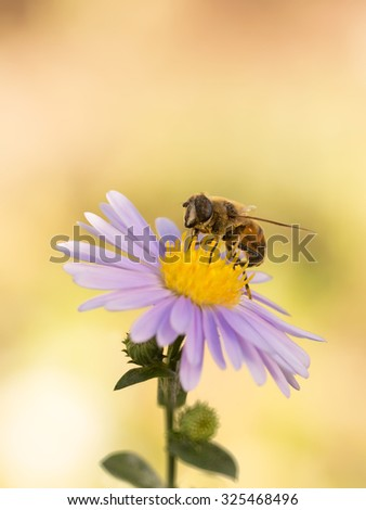closeup honey bee on purple New York aster ( (botanical name: Aster novi-belgii or Symphyotrichum novi-belgii). Vertical Image - stock photo