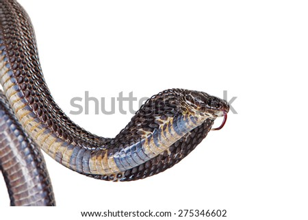 Closeup image of a Black Pakistan Cobra snake normally found in areas of rice cultivation commonly in Pakistan, India and Sri Lanka - stock photo