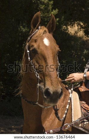 closeup image of a saddlebred horse with western bridle