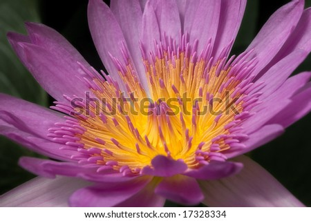 Closeup image of beautiful purple water lily in black background. - stock photo