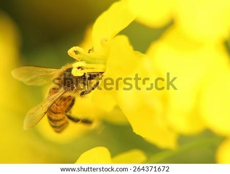 Closeup image of bee on the yellow rape flower. - stock photo