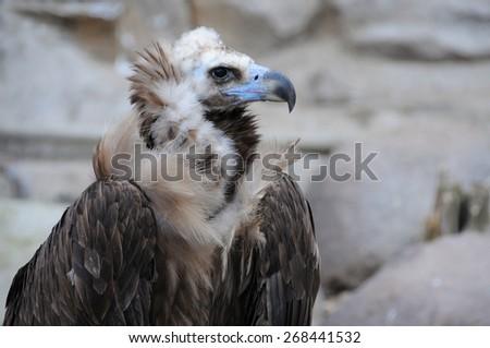 Closeup image of black vulture (Cinereous vulture) - stock photo