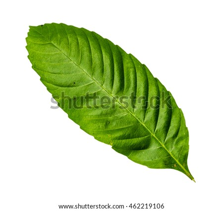 Closeup image of serrated leaf with isolated white background
