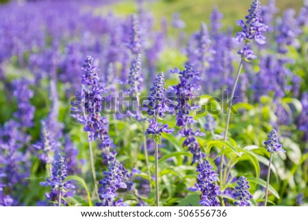 Closeup image of violet lavender flowers in the field in public park.