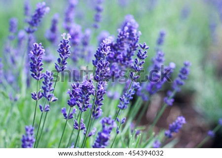 Closeup image of violet lavender flowers in the field in sunny day - stock photo