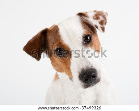 Closeup Jack Russell Terrier, penetrating glance, no isolated.