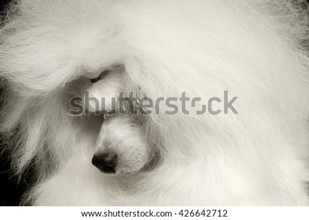 Closeup long groomed White Hair Poodle Dog guiltily lowered his head Isolated on Black Background - stock photo