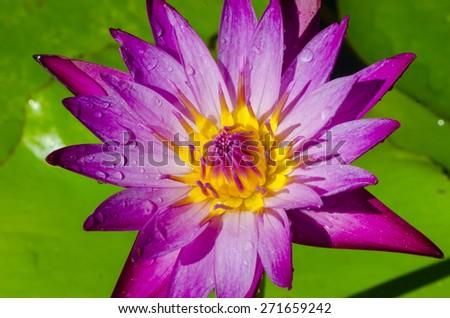 Closeup lotus flower - stock photo
