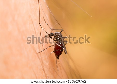 closeup macro photo a mosquito sucking human blood - stock photo