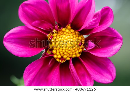 closeup macro photography of a purple flower with yellow detailed pollen - stock photo