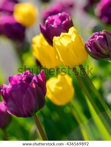 Closeup macro photography of yellow, purple tulips flower bed. Beautiful vivid, colorful, saturated green, yellow, purple nature background. Tulips spring blossoming and blooming.   Tulips macro zoom - stock photo