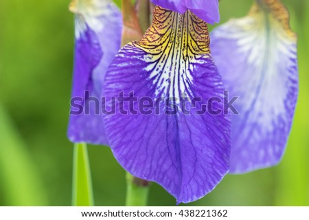 Closeup macro texture of purple Iris flower with yellow shade blooming during summer in Austria, Europe - stock photo