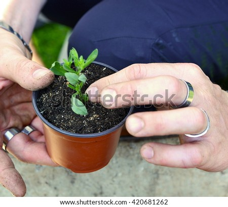 Closeup male hand planting young seedlings into small flower pot with soil.