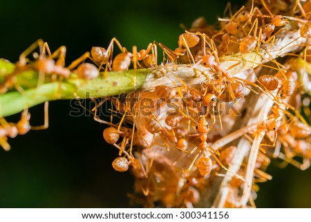 Closeup many red ant moving and carrying food on tree branch - stock photo
