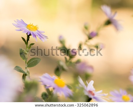 Closeup Michaelmas daisies (botanical name: Aster novi-belgii or Symphyotrichum novi-belgii), also known as New York asters, in garden flowerbed in autumn. Small DoF focus put only to one flower. - stock photo