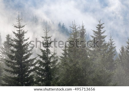 closeup misty pine tree forest