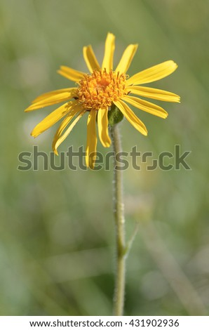 Closeup mountain arnica flower (Arnica montana)  - stock photo