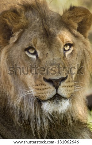 Closeup of a African Lion - stock photo