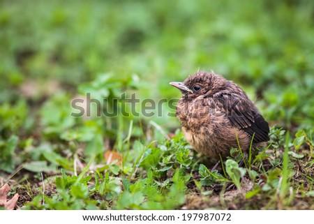 Closeup of a baby Common Blackbird (Turdus merula) - stock photo