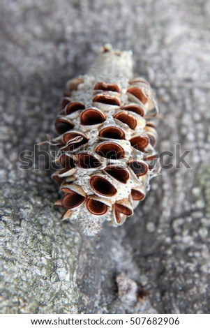 Closeup of a banksia seed pod