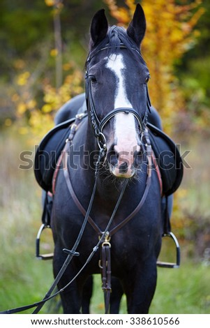 Closeup of a beautiful black horse with saddle standing in the forest
