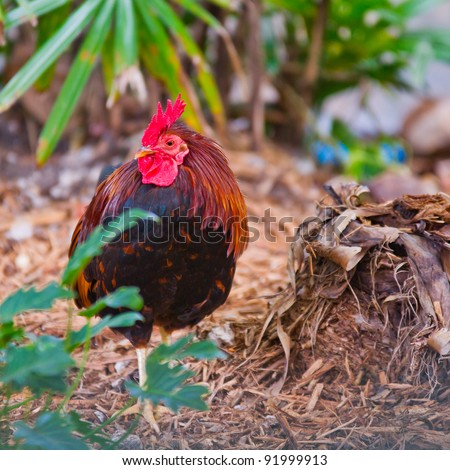 Closeup of a beautiful colorful rooster in a garden in Key West, Florida - stock photo