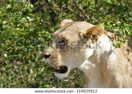 Closeup of a beautiful lioness - stock photo