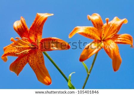 Closeup of a beautiful orange flowers against blue sky - stock photo