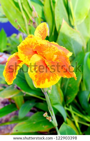 Closeup of a beautiful orange yellow canna lily at outdoor tropical park.