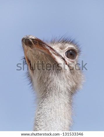 Closeup of a beautiful Ostrich - stock photo