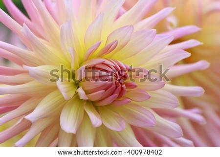 Closeup of a beautiful pink pastel colored dahlia flower - stock photo