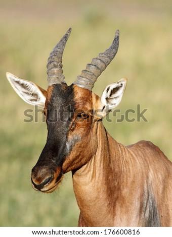 Closeup of a beautiful Topi antelope - stock photo