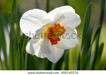 Closeup of a beautiful white daffodil - stock photo