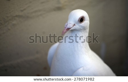 Closeup of a beautiful white pigeon - stock photo