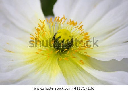 Closeup of a beautiful white poppy flower - stock photo