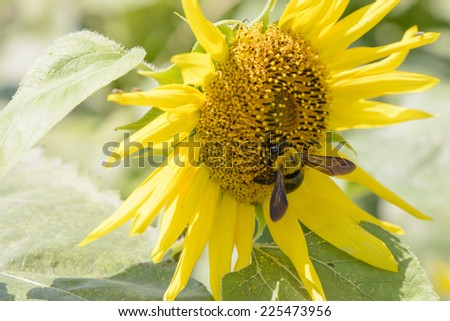 closeup of a bee on a sunflower in sunny day