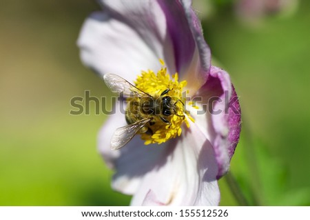 Closeup of a bee, pollenizing a flower - stock photo