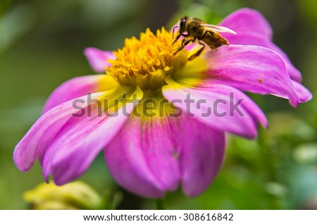 Closeup of a bee  sucking pollen on a large magenta flower at garden - stock photo