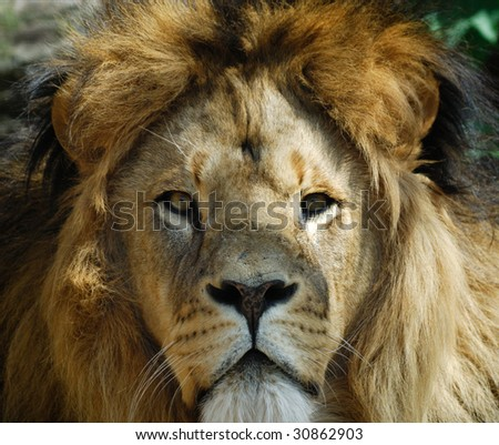 Closeup of a big african male lion